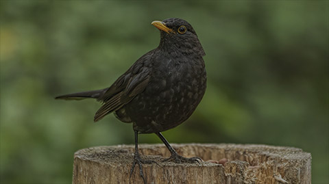 Blackbird Webcam