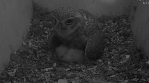 Little Owl Webcam