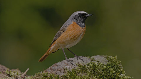 Redstart Webcam